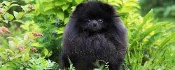 Черный Померанский Шпиц