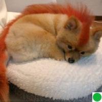 персиковый шпиц фото